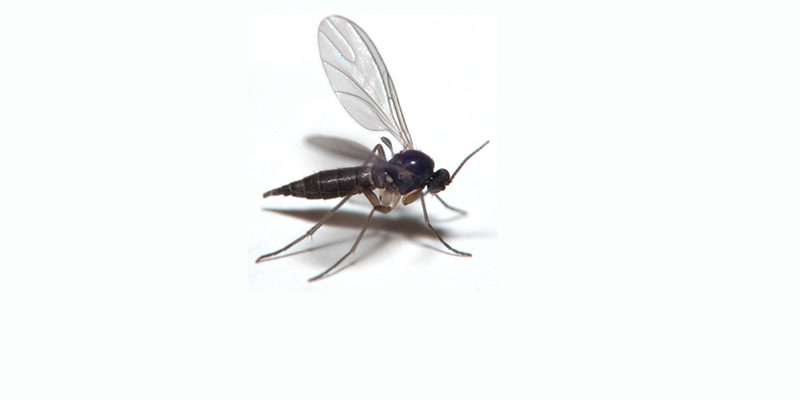 How To Get Rid Of Gnats Practical Pet Care