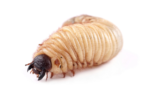 How To Get Rid Of Grubs Practical Pet Care