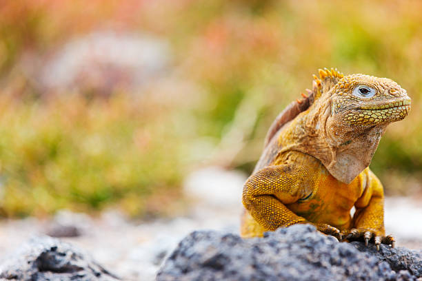 Care For Iguana As A Pet Is Not At All Simple Iguanas Are Native To Tropical America And Live Well Need Proper Lighting Temperature